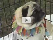 Pugs and Donutes Video